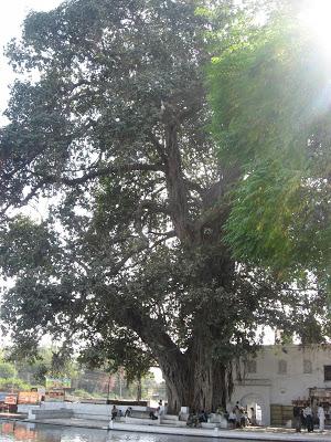 Panchakki banyan tree