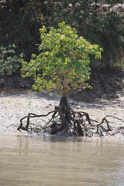 Sunderbans Tree in low tide
