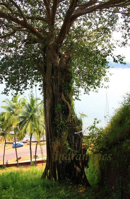 Reis Magos Fort, Goa, Banyan Tree