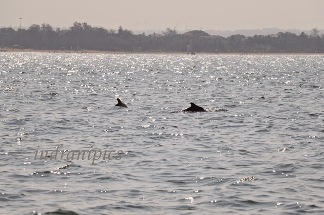 Dolphins in Goa Rivers