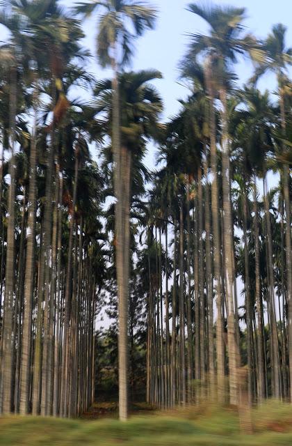 arecanut-plantation
