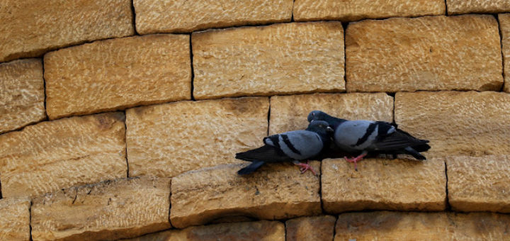 Pigeons on Jaisalmer Fort Wall
