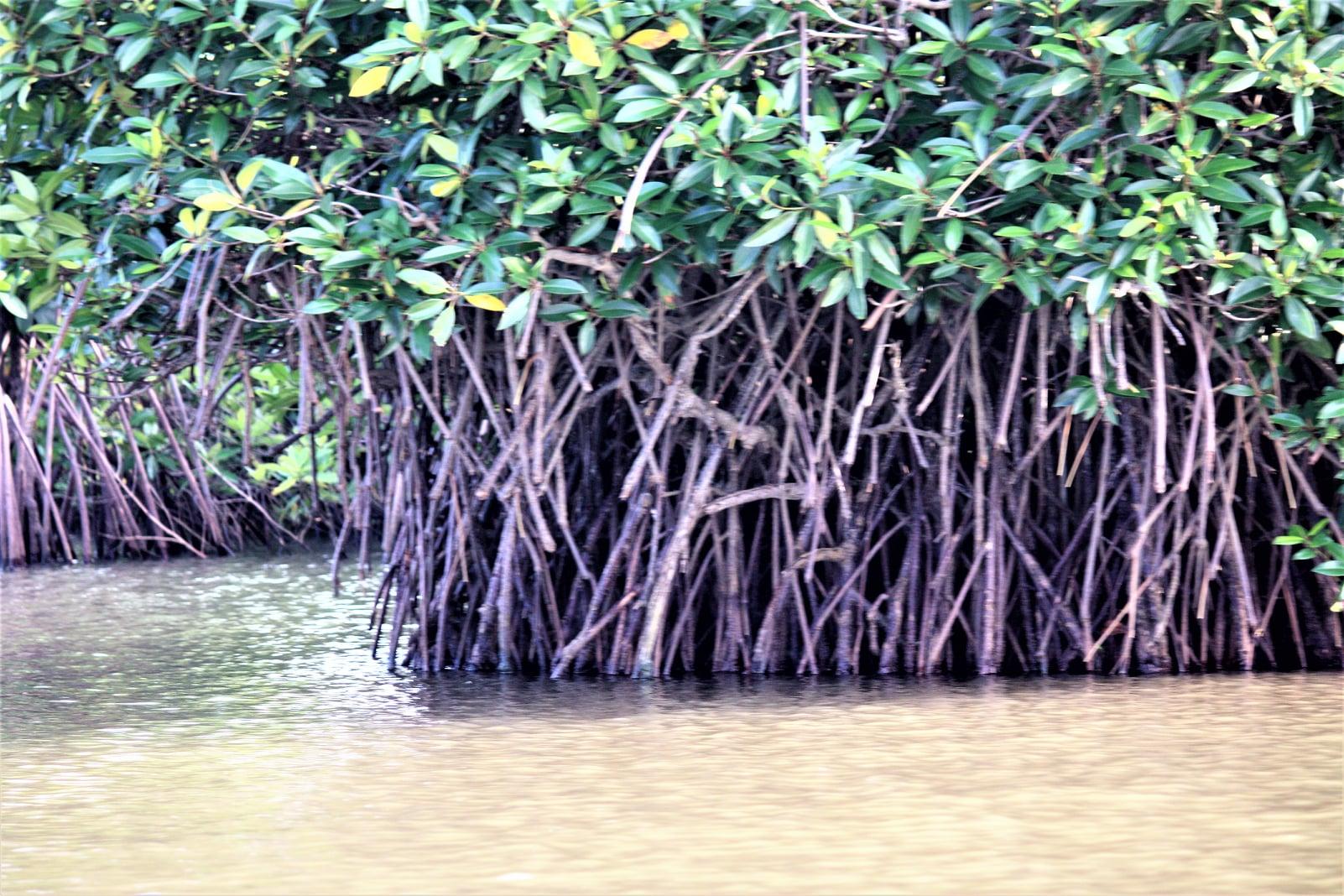 Pichavaram Mangrove forests Tamil Nadu