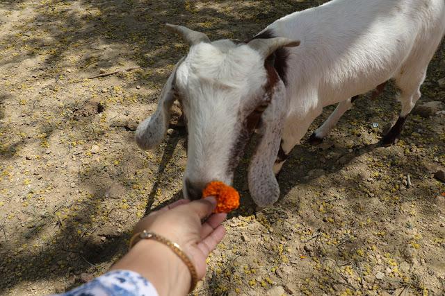 feeding-goat